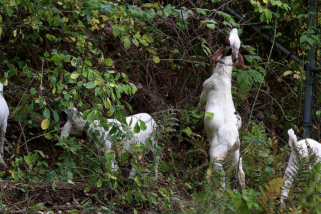 . The Chelmsford Parker Middle School courtyard is overgrown. So the school has hired a herd of goats to clear it out. They arrived Tuesday afternoon and will be at the school for the next week or two. SUN/JOHN LOVE