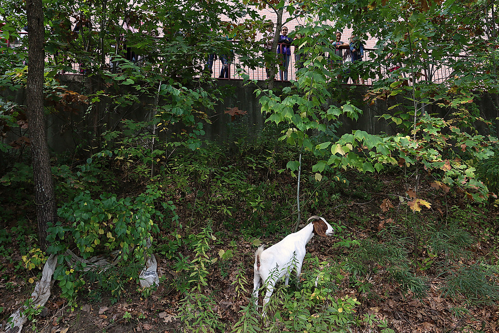 . The Chelmsford Parker Middle School courtyard is overgrown. So the school has hired a herd of goats to clear it out. They arrived Tuesday afternoon and will be at the school for the next week or two. Some of the kids came out to try and see the goats. SUN/JOHN LOVE
