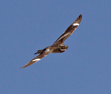 Common Nighthawk Crowley Lake 2011 07 16-2.CR2