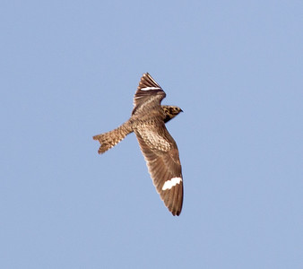 Common Nighthawk  Crowley Lake 2013 07 21 (1 of 2)-2.CR2