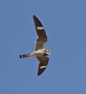 Common Nighthawk  Crowley Lake 2013 07 21 (2 of 2).CR2