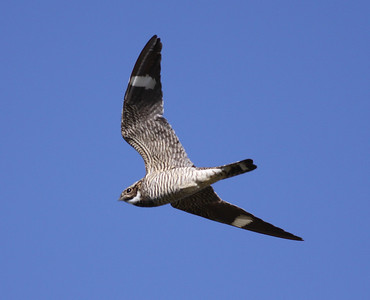 Common Nighthawk Crowley Lake 2009 06 24-5.JPG