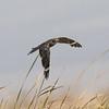 Lesser Nighthawk Harper Dry Lake 2018 07 24-8.CR2