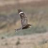 Lesser Nighthawk Harper Dry Lake 2018 07 24-7.CR2
