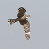 Lesser Nighthawk Harper Dry Lake 2018 07 24-4.CR2