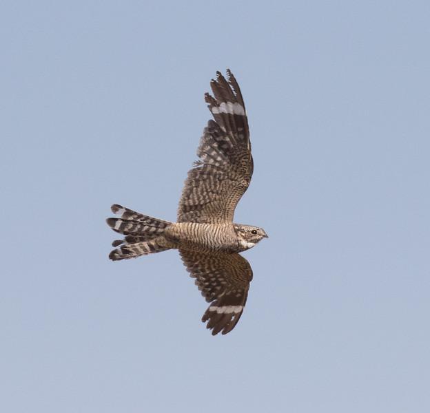 Lesser Nighthawk Harper Dry Lake 2018 07 24-2.CR2