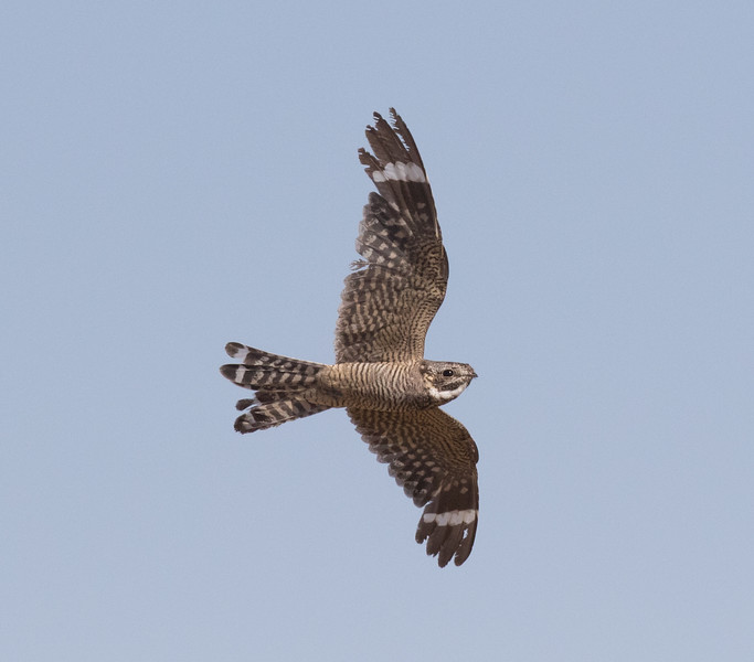 Lesser Nighthawk Harper Dry Lake 2018 07 24-1.CR2