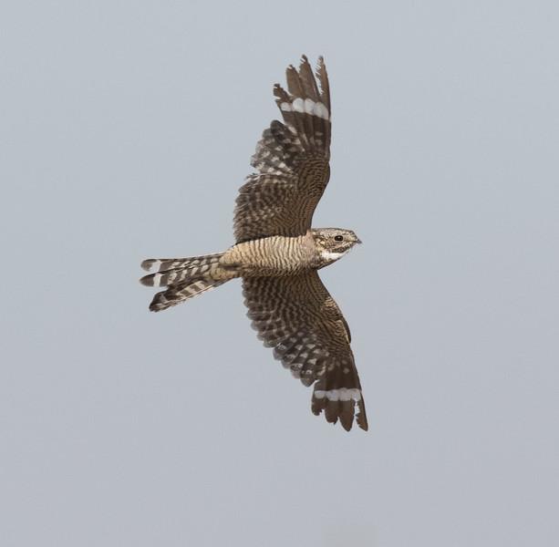 Lesser Nighthawk Harper Dry Lake 2018 07 24-5.CR2