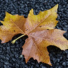 Autumn plane tree leaf on a grave II