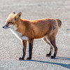 Fox Without A Tail