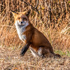 Female Fox 7295