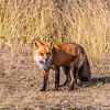 Fox 7271