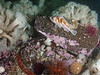 Copper rockfish; Sebastes caurinus