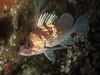 Young quillback rockfish, Sebastes maliger