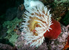 Fish-eating anemone, Urticina piscivora <br /> East wall of Toy Boy, Staples Island, the Walker Group, British Columbia