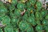 Pink-tipped anemone, Anthopleura elegantissima<br /> Clam Wall, Browning Pass, British Columbia