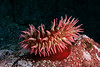 Fish-eating anemone, Urticina piscivora <br /> Clam Wall, Browning Pass, British Columbia