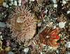 Painted anemone, Urticina grebelnyi<br /> Browning Wall, Browning Pass, British Columbia