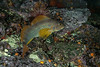 Kelp greenling, Hexagrammos decagrammus<br /> Aquarium, Browning Pass, British Columbia