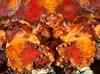 Juvenile Puget Sound king crab, Lopholithodes mandtii<br /> Lucan's Chute, Browning Pass, British Columbia