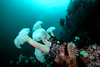 Giant plumose anemone, Metridium farcimen and the anemone, Urticina piscivora<br /> Frank's Rock, Browning Pass, British Columbia