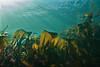 Split Kelp Laminaria setchellii ?<br /> <br /> Fantasy Island, Bolivar Passage, between Redfern Island and the Walker Group, British Columbia