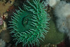 Giant green anemone, Anthopleura xanthogrammica<br /> Browning Wall, Browning Pass, British Columbia