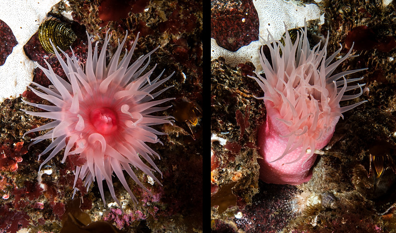 Aulactinia vancouverensis<br /> ID thanks to Dr. Karen Sanamyan who first described this anemone in 2013.<br /> <br /> West wall of Toy Boy, Staples Island, the Walker Group, British Columbia