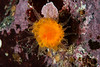 Orange cup coral, Balanophyllia elegans<br /> Lucan's Chute, Browning Pass, British Columbia