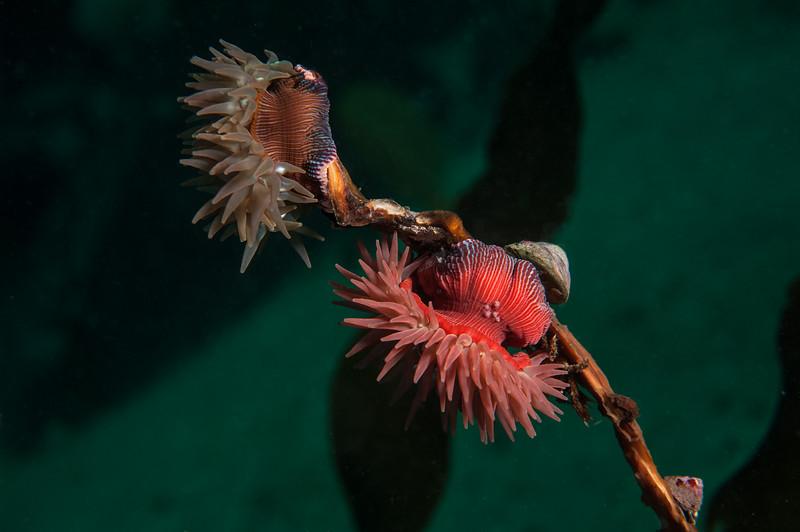 Brooding anemone, Epiactis lisbethae  <br /> Seven Tree, Browning Pass, British Columbia