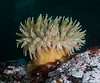 Pale version of the painted anemone, Urticina grebelnyi<br /> R & B, Browning Pass, British Columbia