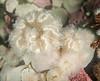 Plumose Anemones