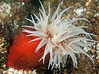Fish-eating anemone, Urticina piscivora<br /> R & B, Browning Pass, British Columbia