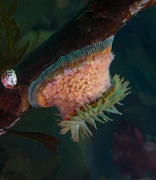 Brooding anemone, Epiactis lisbethae<br /> Northwest Passage Wall, British Columbia