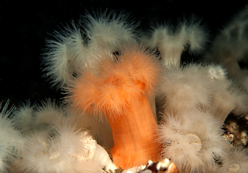 Plumose anemone,s Metridium dianthus, formerly Metridium senile<br /> Rock of Life (aka Buttertart Reef), Browning Pass, British Columbia