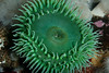 Giant green anemone, Anthopleura xanthogrammica<br /> Browning Wall, Browning Pass, British Columbia, Canada