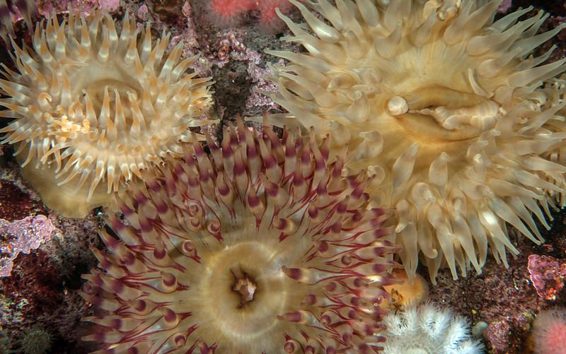 Painted anemones, Urticina grebelnyi<br /> Seven Tree Island, Browning Pass, British Columbia