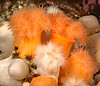 "Plumose anemones, Metridium dianthus, formerly Metridium senile<br /> The orange version may be a subspecies, Metridium senile fimbriatum.  <br /> <br /> See: <a href=""http://actiniaria.com/metridium_senile.php"">http://actiniaria.com/metridium_senile.php</a><br /> <br /> Snowfall, Browning Pass, British Columbia"