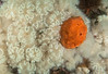 Metridium dianthus and Suberites montiniger<br /> Fantasy Island, British Columbia