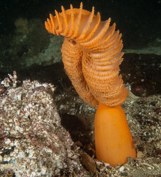 Orange Sea Pen, Ptilosarcus gurneyi<br /> Dillon Rock, Shushartie Bay, British Columbia