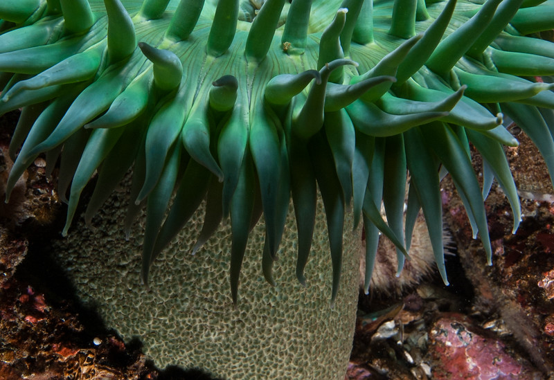 Giant green anemone, Anthopleura xanthogrammica<br /> East wall of Toy Boy, Staples Island, the Walker Group, British Columbia