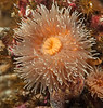 Anemone ID needed - Metridium senile fimbriatum?
