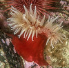 Fish-eating anemone, Urticina piscivora<br /> Seven Tree Island, Browning Pass, British Columbia