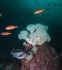Metridium farcimen, Pugent Sound rockfish, black rockfish<br /> R & B, Browning Pass, British Columbia