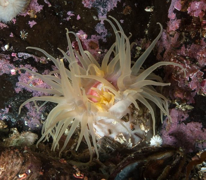 """Undescribed anemone, family Actiniidae<br /> <br /> Information thanks to Dr. Karen Sanamyan<br /> """"This is a species of the family Actiniidae, I think it might be<br /> unknown species of the genus Aulactinia or something related.""""<br /> <br /> Fantasy Island, British Columbia, Canada"""