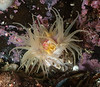 "Undescribed anemone, family Actiniidae<br /> <br /> Information thanks to Dr. Karen Sanamyan<br /> ""This is a species of the family Actiniidae, I think it might be<br /> unknown species of the genus Aulactinia or something related.""<br /> <br /> Fantasy Island, British Columbia, Canada"