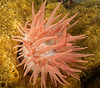 Crimson anemone, Cribrinopsis rubens<br /> Barry Rock, British Columbia