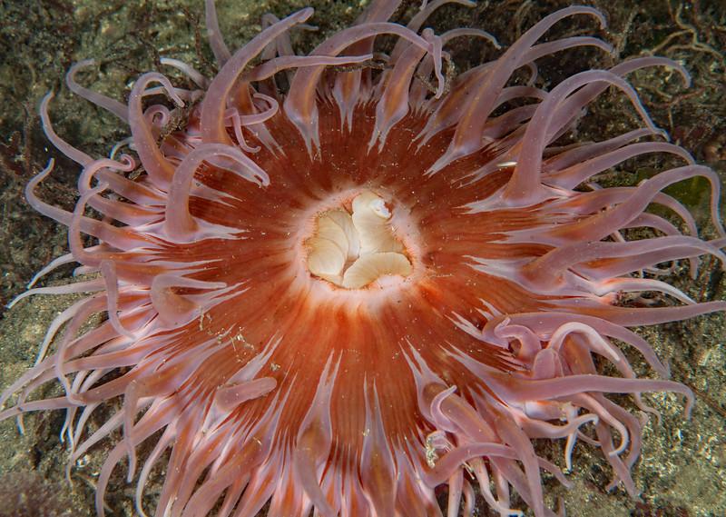 Sand rose anemone, Urticina columbiana<br /> Hoodie Nudi Bay, Nigei Island, British Columbia