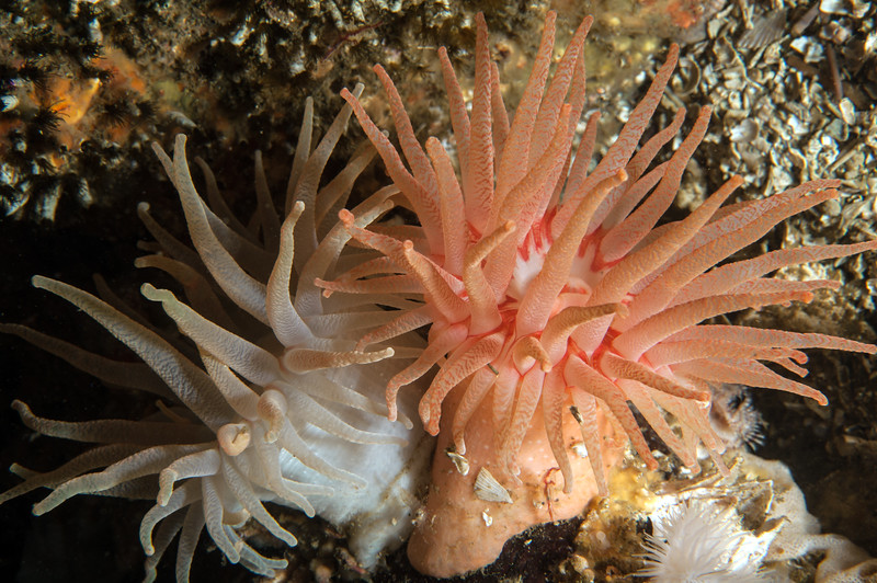 Crimson anemones, Cribrinopsis rubens<br /> Hunt Rock, Gordon Channel, British Columbia