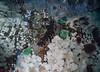Green surf anemones